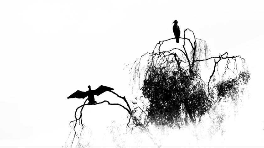 cormorants 2