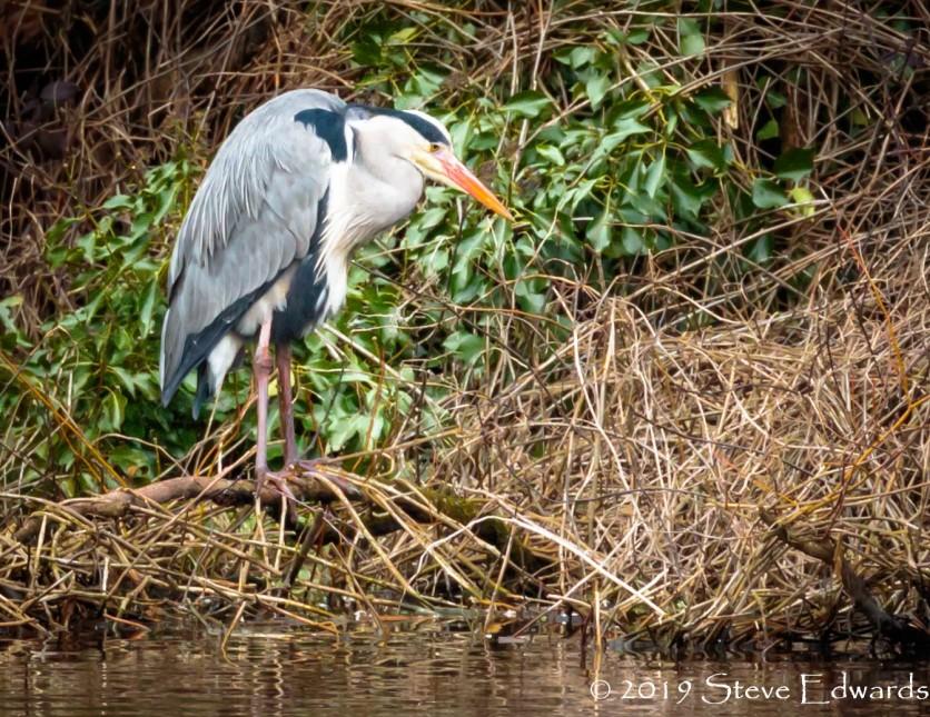Grey Heron 2 @ Clennon Valley Reserve